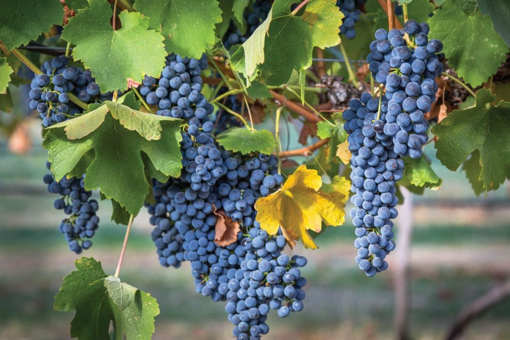 clearwater-canyon-cellars-grape