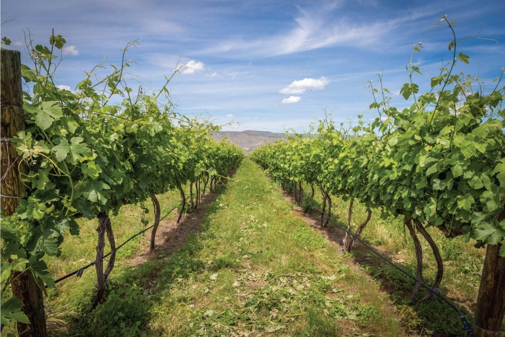 clearwater-canyon-cellars-vineyard-2