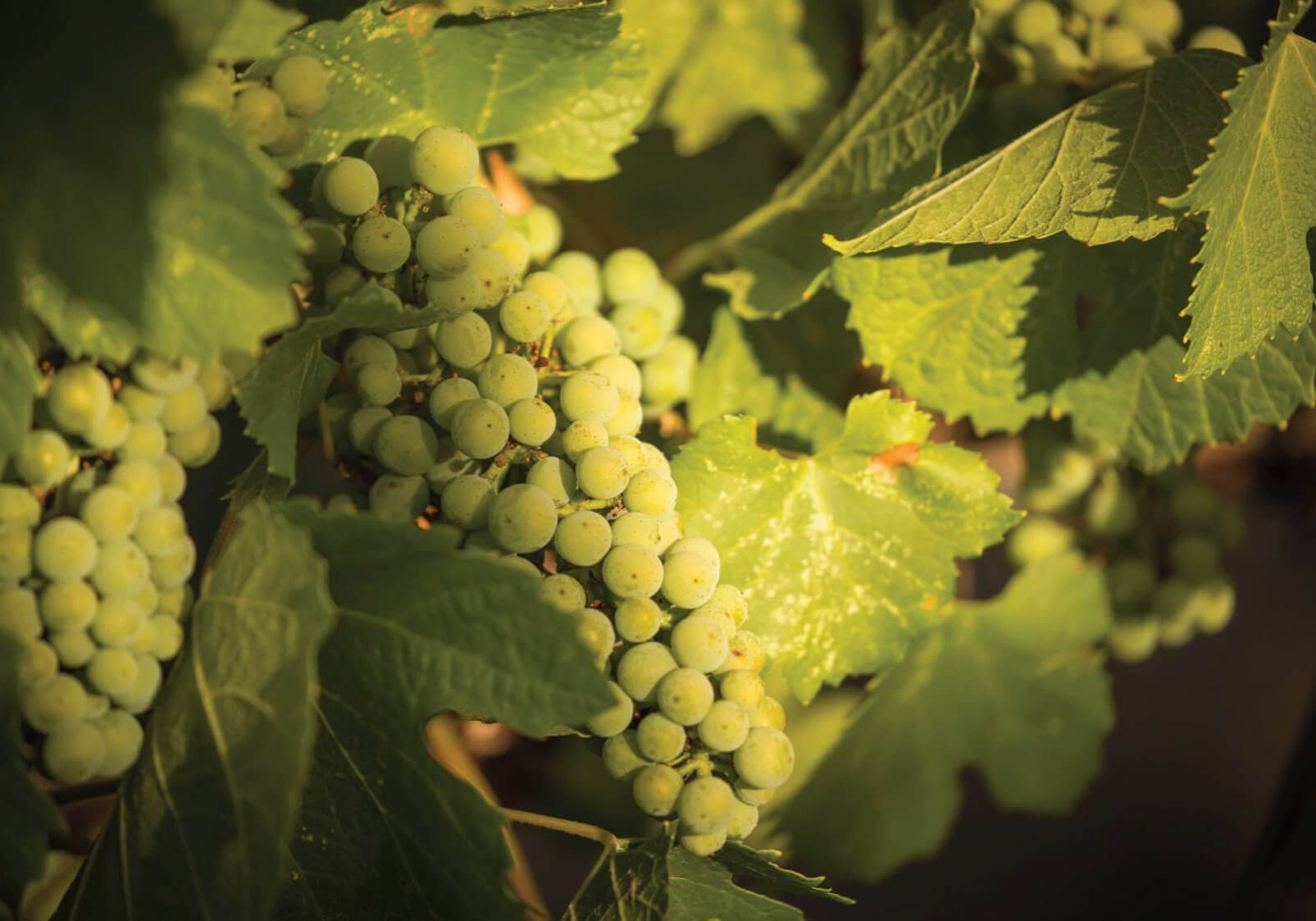 clearwater-canyon-cellars-grape-2